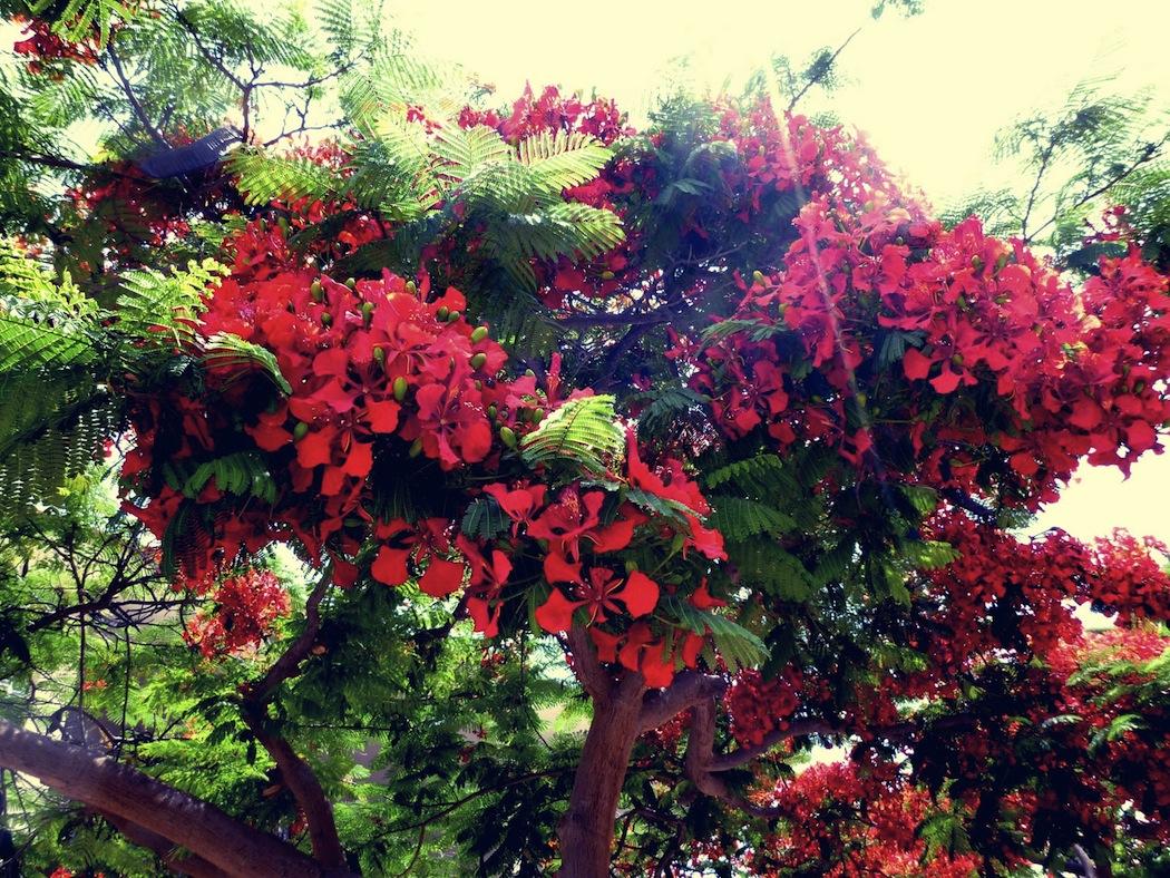 fleursrouges